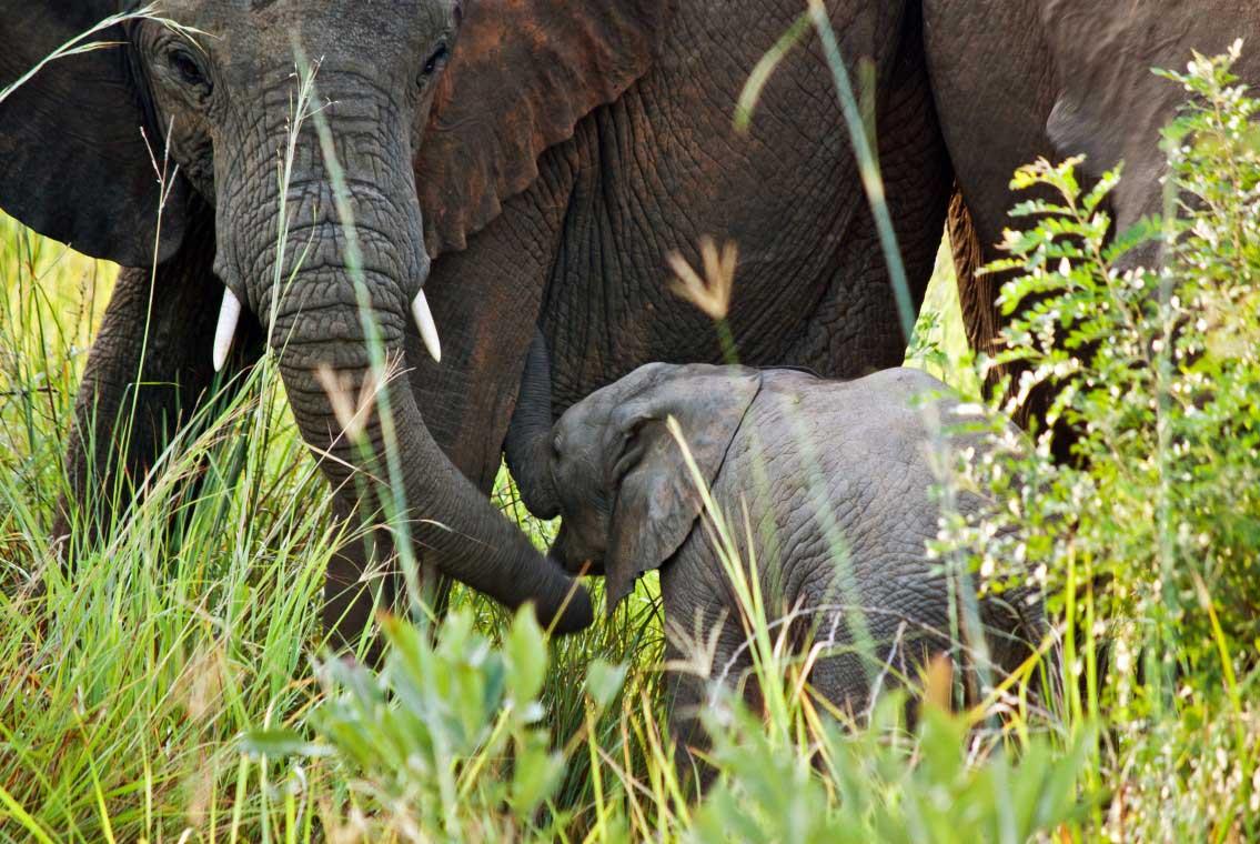 Savanna elephants return, gloriously, to Virunga National Park